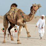 Фестиваль верблюда.