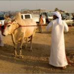 Развлечения в ОАЭ: бои быков