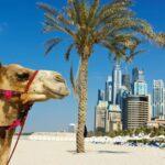 Верблюд в ОАЭ больше, чем просто верблюд